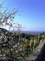 almond blossoms everwhere
